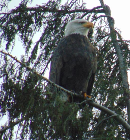 Montlake, eagle