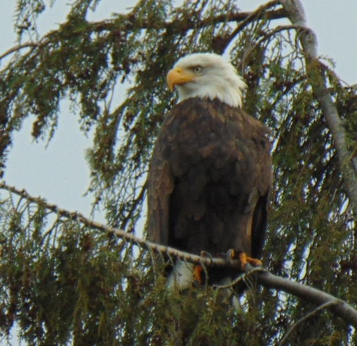 Bald eagle, montlake